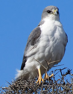 Variable Hawk - Valdes Peninsula Bird