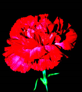 Digitized carnation © lawhawk 2007