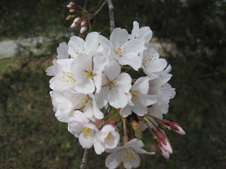 Cherry Blossoms in Georgia