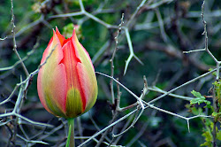 Tulip in the Thicket