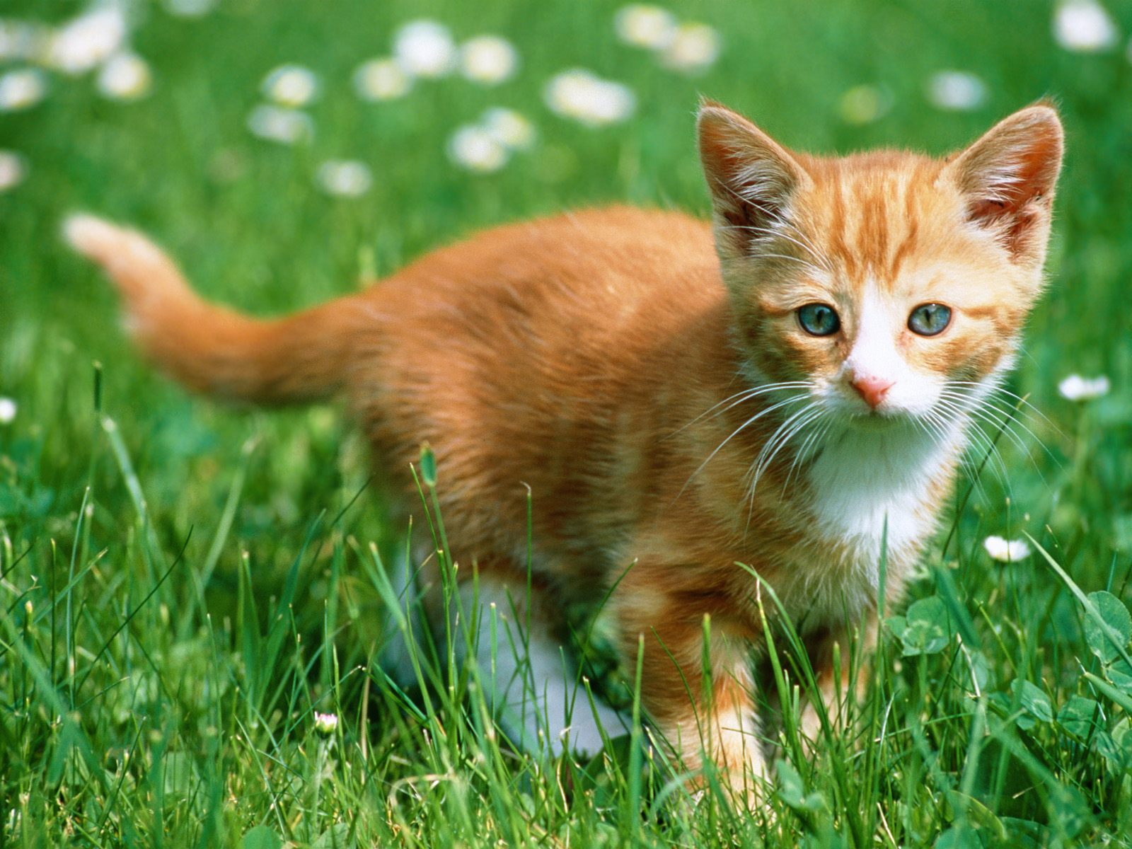 Tiptop 3d Hd Wallpapers Collection Beautiful Cats Wallpapers