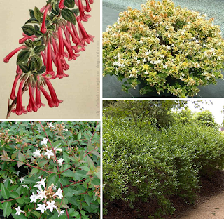 Abelia floribunda, Abelia, cuidados abelia, arbusto abelia, Abelia floribunda arbusto planta