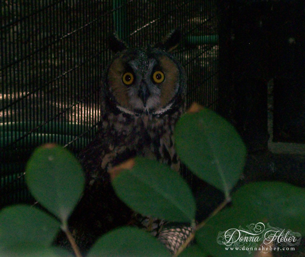 - Long-Eared Owl