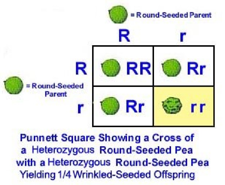 Biaspurnestilwki 16 punnett square flowers fandeluxe Image collections