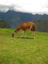 Llama in the mountains.