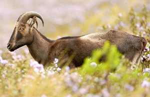 Nilgiri Tahr-State animal of Tamilnadu