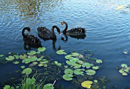 Swans on BuderimLake
