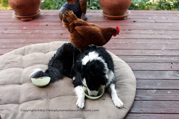 [Loki+Chicken8647.jpg]