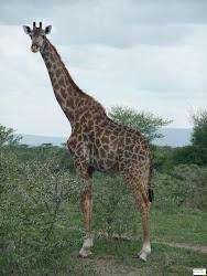 2009 Giraffa nel Selous