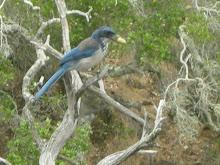 Island Scrub-Jay (Aphelocoma insularis)