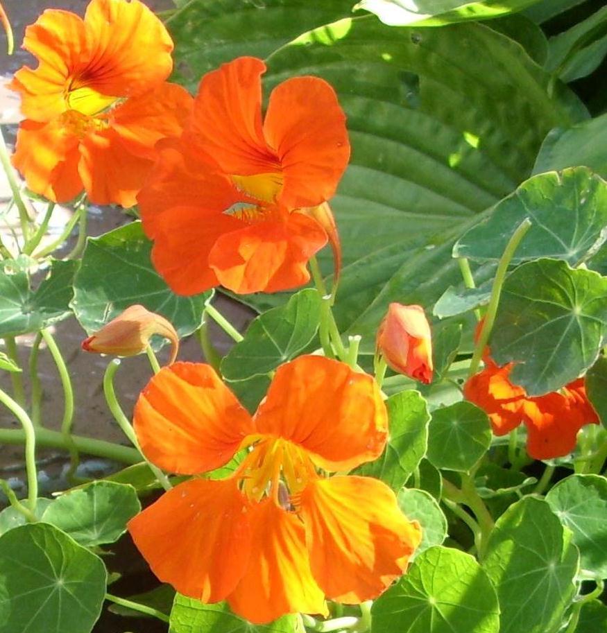 Kellis northern ireland garden edible flowers edible flowers mightylinksfo