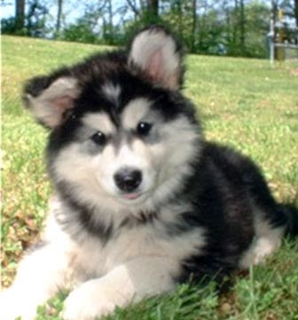 Alaskan Malamute Puppies on Alaskan Malamute   Top Dogs And Puppies