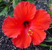 Pattani Flower