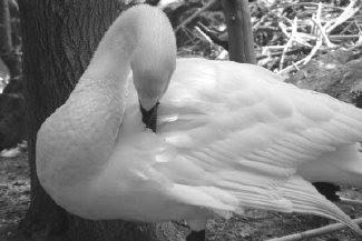 Swan Dance in Australia by Joe Beine