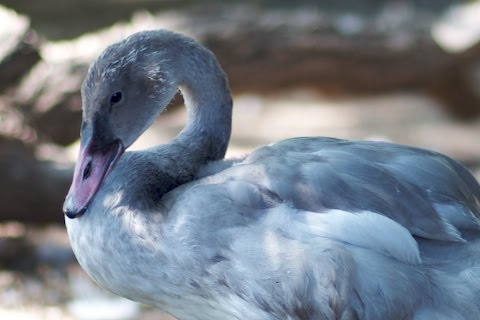 Two-and-a-half-months old trumpter swan cygnet