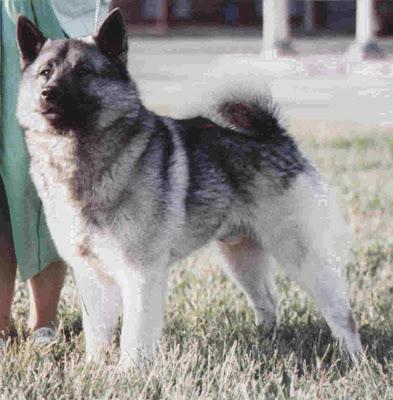 Norwegian Elkhound Top Dog