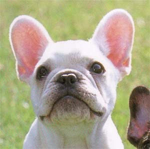 French Bulldog Galleries
