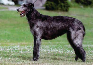 Australian Shepherd Greyhound Mix