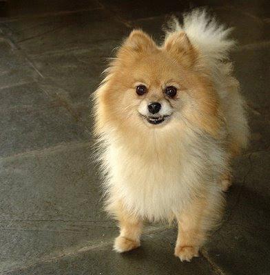 Pomeranian run ourterrier mixed apr , peek-a-pom pekingese Pet,