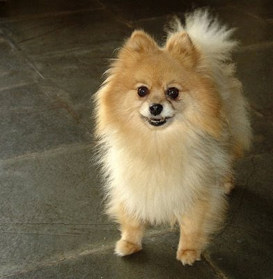 Pomeranian Dog Breeders
