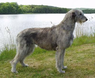 Hound Group: Irish Wolfhound