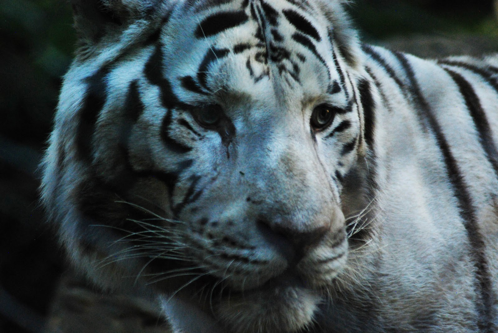 Tiger Eyes Black And White The white tiger is white with Tiger Eyes Black And White