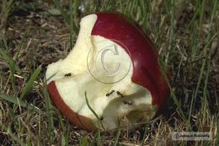 fourmis qui mangent une pomme