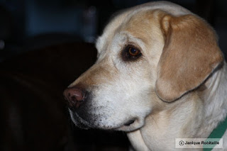 photo d'un chien labrador blond