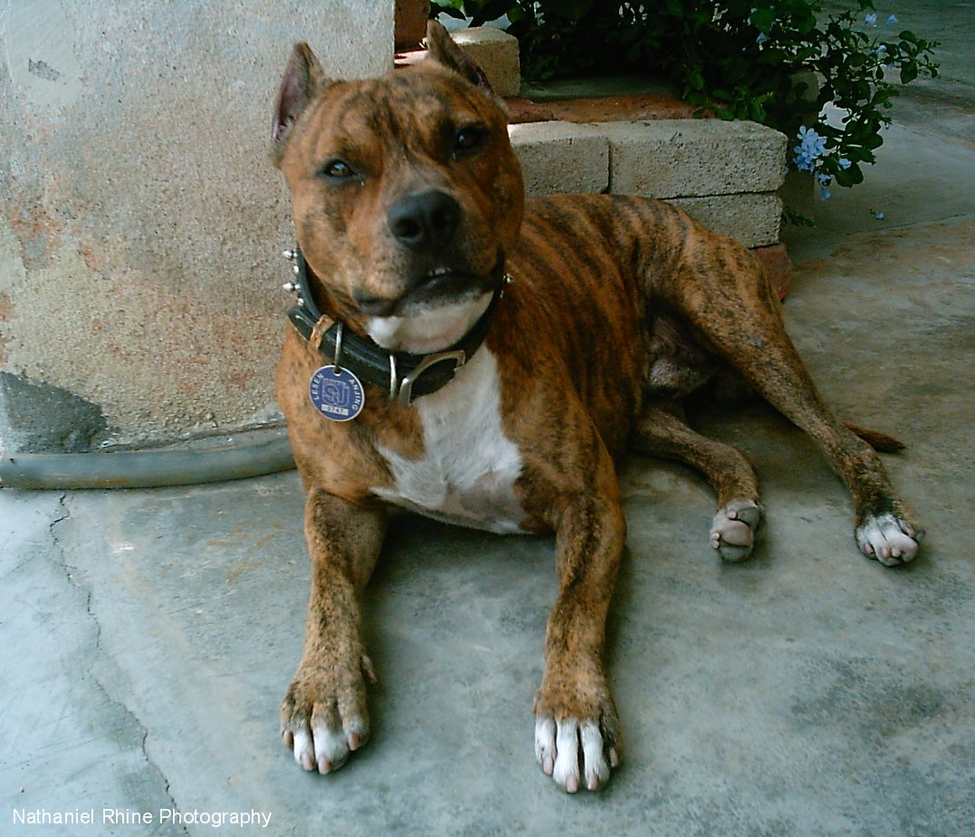 Images Of Cropped Pit Ears Wallpaper | Dog Breeds Picture