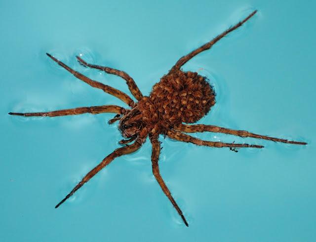 Florida Wolf Spider