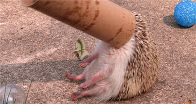 cute fail, hedgehog