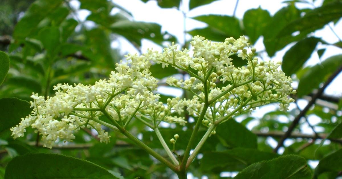 Jardin de la salud plantas medicinales tisana o te for Jardin botanico medicinal