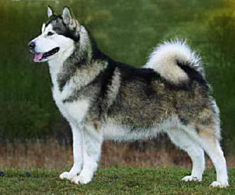Alaskan Malamute Dog Breed Pictures