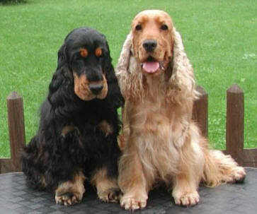 Cocker Spaniel Dog Breed Images