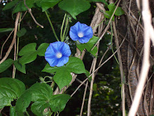 Morning Glories @ My House