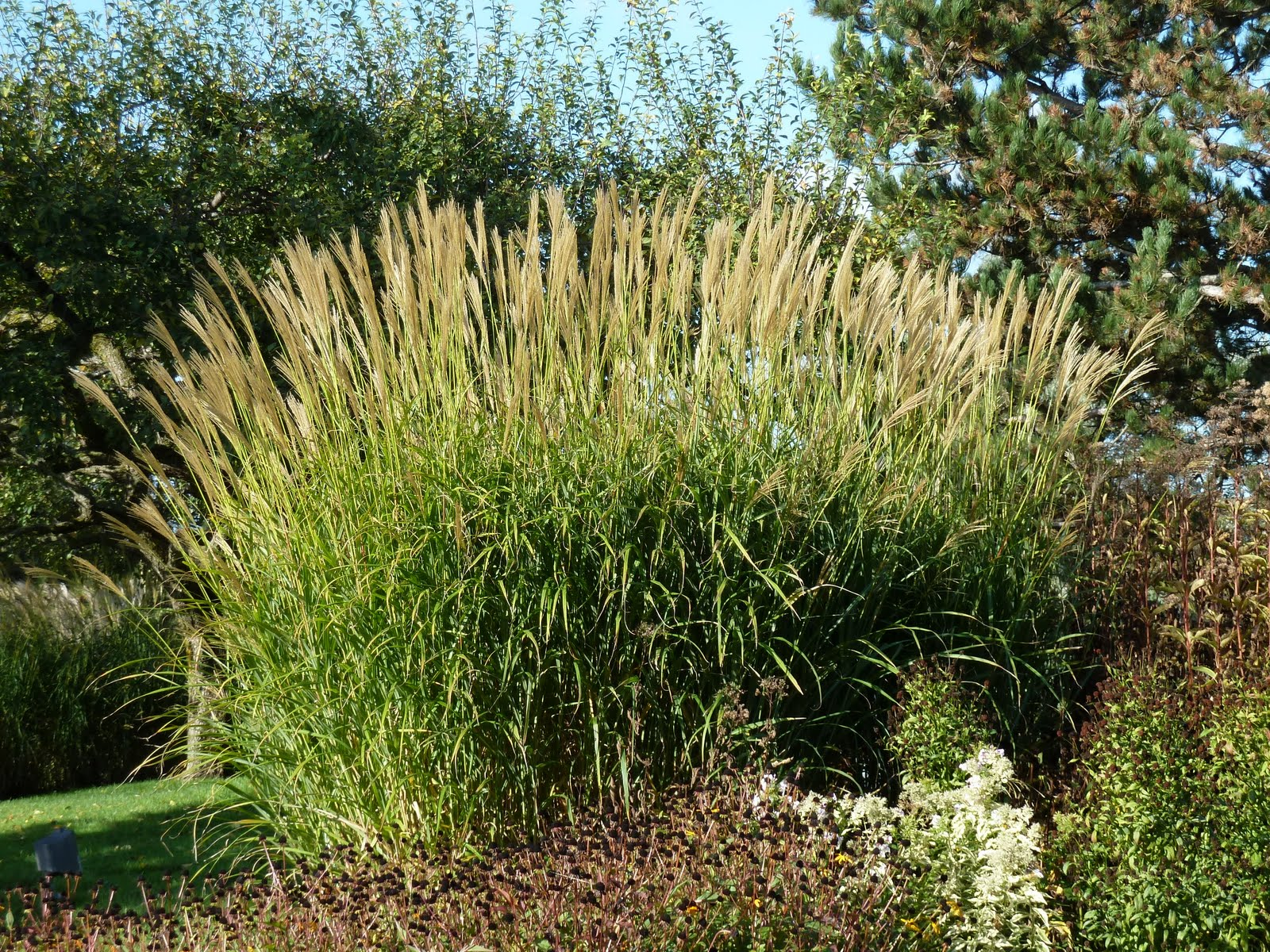 York downs golf and country club gardens 101 series for Decorative grasses