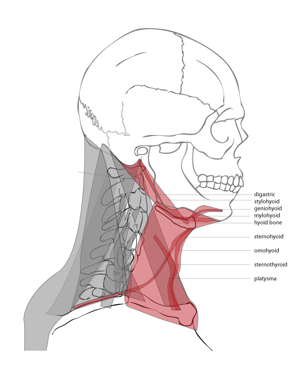 Paint Draw Paint, Learn to Draw: Drawing Basics: Anatomy of the neck ...