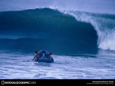 Hipopótamos surfeando en las playas gabonesas de Loango