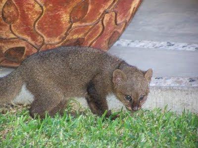 Jaguarundi in Melaque