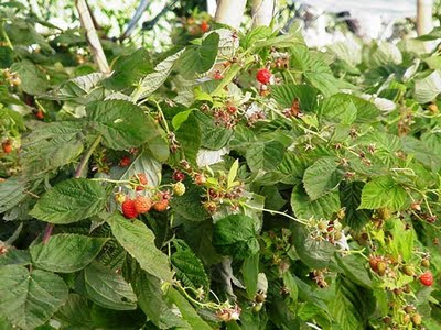 Jocotepec Raspberries