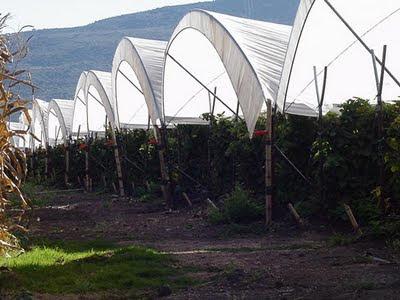 Jocotepec Raspberries
