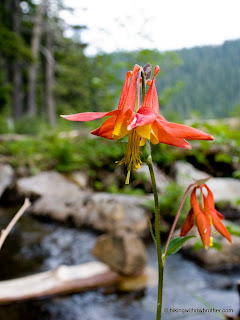 red columbine aquilegia formosa mason lake mt defiance hikingwithmybrother
