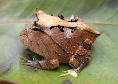 Ficha Rana Pacman Amazon_horned_frog