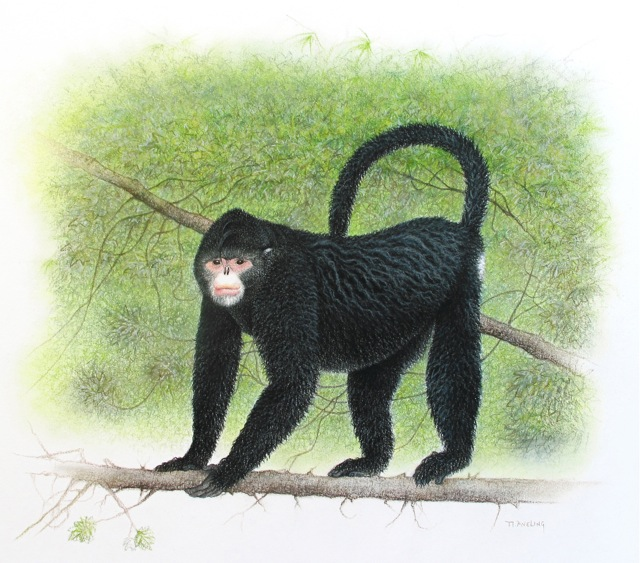 Tonkin Snub Nosed Langur. Monkey+with+upturned+nose