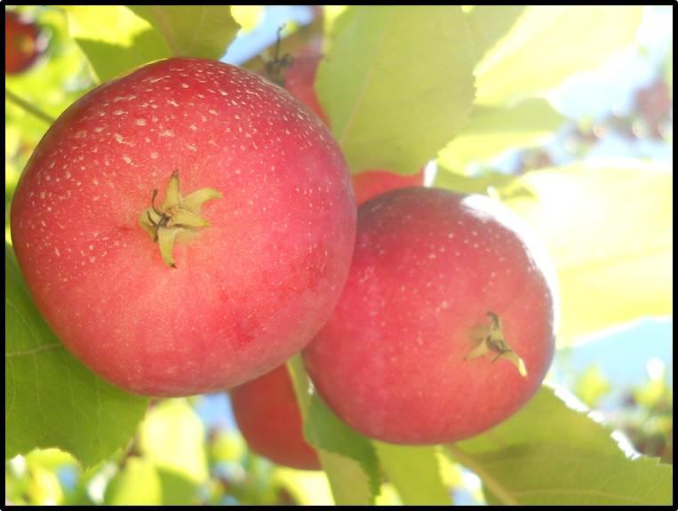 Savoir faire conserver pique nique au verger - Conserver pommes coupees ...