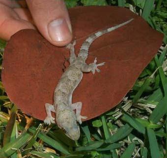 tropical_lizard