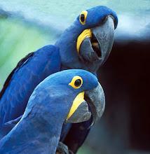 Araras azuis em extinção