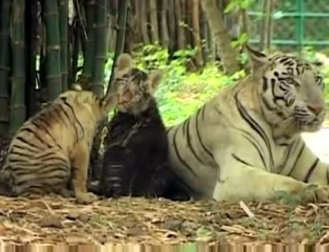 Un tigreau blanc devient noir !! Blacktiger1