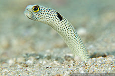 closeup of a garden eel