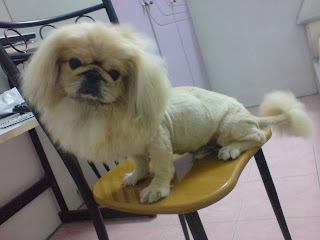 This is Hei Hei, done full grooming on him. Little Lion style .